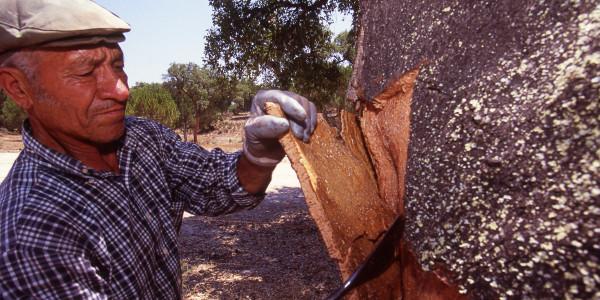 Cork Harvesting 2