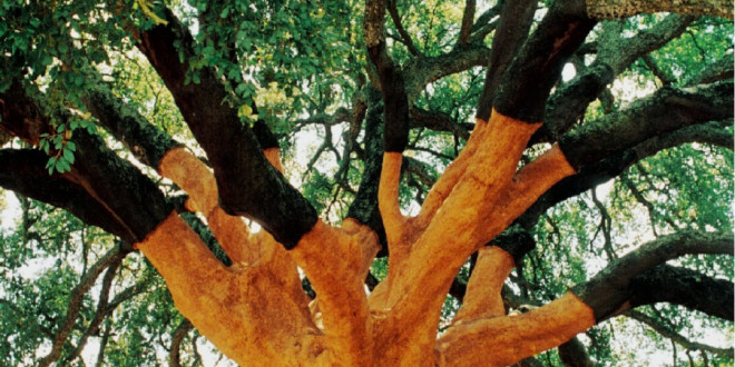 The World's Largest Cork Tree