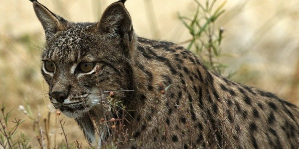 Iberian Lynx of the Cork Forest