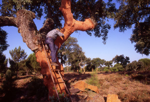 Real Cork Harvesting in the Montado of Portugal