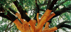 The World's Largest Cork Tree